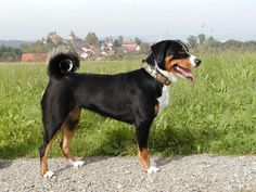 Appenzeller mountain dog. I've wanted one for a long time