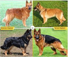 If you have an interest in German Shepherd or a dog like German shepherd , which is more suitable for your specific demand. Check this article that enlists such breeds, from which you can choose from.