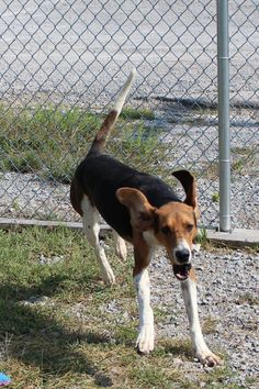 Rocket was picked up on Hoyte Ledford Rd on 7/25/14. He is an adult Walker Coonhound and weighs 51 pounds. If not reclaimed by his owner, he is available for adoption on 7/29/14 and for rescue 7/30/14. Expected Euthanize date is 8/6/14  Lewisburg Animal Shelter 300 Woodside Lewisburg TN 37091 931-359-5948 shelter.volunteers@lewisburgtn.gov