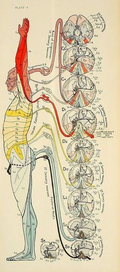 Acupuncture For Destress nemfrog: Plate X. Diseases of the nervous system. Human Body Anatomy, Human Anatomy And Physiology, Muscle Anatomy, Illustrations Médicales, Les Chakras, Spine Health, Medical Anatomy, Massage Therapy, Physical Therapy