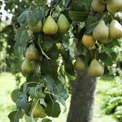 idée arbre petite pomme poirier Plantation, Fruit, Photography, Naturaleza, Handstand, Apple, Lawn And Garden, Plant, Photograph