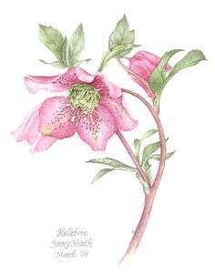 Hellebore Plant - Watercolour Painting by Richmond Surrey Artist working at Kew Gardens