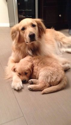 Astonishing Everything You Ever Wanted to Know about Golden Retrievers Ideas. Glorious Everything You Ever Wanted to Know about Golden Retrievers Ideas. Retriever Puppy, Dogs Golden Retriever, Golden Retrievers, Cute Puppies, Cute Dogs, Dogs And Puppies, Doggies, Animals Beautiful, Cute Animals