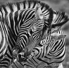 Black and White Zebra & White and Black Zebra ^^