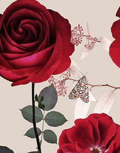 michael angove red velvet rose print