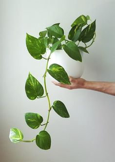 11 Science-Backed Pothos Plant Benefits+It Can Grow Without Sunlight 11 Amazing Science-Backed Potho Plante Pothos, Indoor Garden, Outdoor Gardens, Balcony Garden, Best Indoor Hanging Plants, Ivy Plants, Real Plants, Large Plants, Foliage Plants
