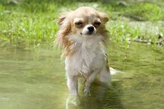 Hund oder Wasserratte? Chihuahuas sind ganz und gar nicht wasserscheu! — Bild: Shutterstock / cynoclub    www.einfachtierisch.de