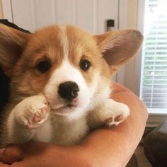 Dogs cure ARD, and cats - neuroses: 5 animals that help in fighting various diseases Baby Corgi, Cute Corgi Puppy, Corgi Dog, Cute Dogs And Puppies, Baby Puppies, Dog Cat, Cute Funny Animals, Cute Baby Animals, Dressage