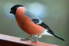 Escucha el Camachuelo Común en canto-pajaros.es, una completa recopilación de sonidos de pájaros de nuestro país. ¡También para tu teléfono móvil!