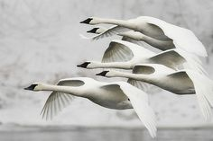 """Trumpeter Swans"""" - © Jim Brandenburg THIS IS NOT A PAINTING.   IT IS A PHOTO"""