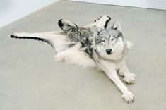 By combining two pre-taxidermied wolves into one, artist Nicholas Galanin has created a startling piece. Called Inert Wolf, it was made for a traveling group exhibition that deals with humanity's. Bad Taxidermy, Taxidermy Decor, Taxidermy Display, Wolf Sculpture, Natural History, Installation Art, Art Installations, Contemporary Art, Sculptures