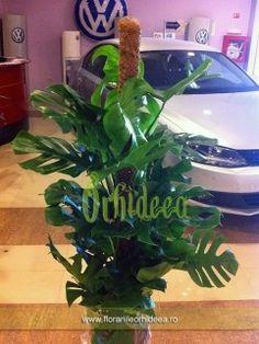 Monstera Deliciosa - 2m inaltime Monstera Deliciosa, Plant