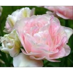 Double Late Tulips Angelique Pastel Pink per 20 Easy To Grow Bulbs, Spring Flowering Bulbs, Bulbs For Sale, Bulb Flowers, Allium, Sparklers, My Flower, Pastel Pink, Spring Flowers