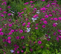 New England aster 'September Ruby' with wild ageratum All Plants, Garden Plants, Agricultural Extension, Achillea, Paradise Garden, Apple Tree, Aster, Gardening Tips, New England