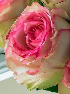 Crown Majesty Rose