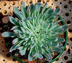 """Echeveria """"Violet Queen"""" monster   Flickr - Photo Sharing!"""