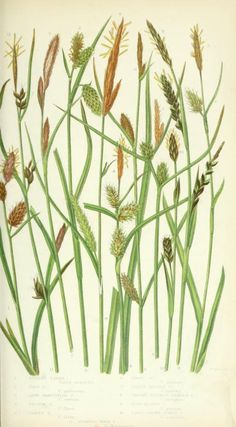 1858 - The British grasses and sedges. by Pratt, Anne