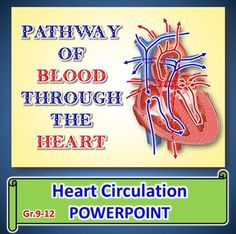 This 21 SLIDE EDITABLE POWERPOINT contains clear step-by-step explanations of the flow of blood through the different components of the heart. Many students find it difficult to visualize the pathway for deoxygenated and oxygenated blood so I have carefully animated the PowerPoint with moving arrows, labels, and clear diagrams to help students better imagine the pathway.