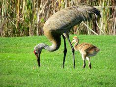 Sandhill crane - Wikipedia, the free encyclopedia