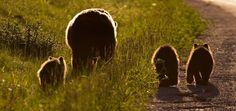 ursos selvagens - Pesquisa Google