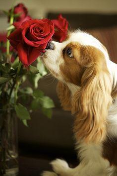 Cãozinho meigo cheirando rosas!!!