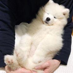 Teddy bear 🐻 📷 @trixiethesammy #samoyedpage Samoyed Dogs, Husky, Teddy Bear, Virus, Comme, Public, Instagram, Dog Types, Old Age