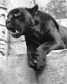 @Patty Baur....you see how tough this panther looks!? Nough said. Panthers pounce the F out of some stars ;)
