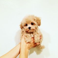 This pretty pomeranian puppy will warm your heart. Dogs are fascinating friends. Cute Teacup Puppies, Cute Little Puppies, Small Puppies, Cute Dogs And Puppies, Doggies, Teacup Dogs, Baby Puppies, Cute Funny Animals, Cute Baby Animals