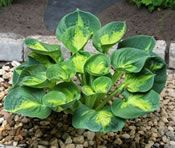 Sunset Grooves - NEW!   Here is a very groovy sport of the 2013 Hosta of the Year, 'Rainforest Sunrise'.