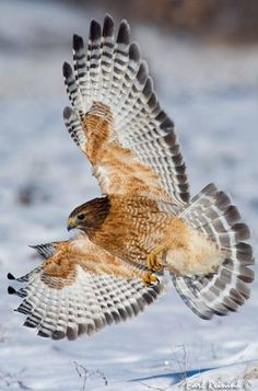Red-shouldered Hawk. We saw these majestic birds close up when we lived in Lookout Mountain, GA.