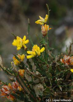 Genista tridentata (Engordatoro). Arbusto de aproximadamnete 1 m de altura perteneciente a la familia de las leguminosas. Carece de hojas y sus tallos son aplanados y están recorridos por dos alas onduladas, coriáceas y ásperas al tacto y terminados en una estructura dentada con dos nervios bien marcados. Sus flores son amarillas y dispuestas en cimas terminales. Crece en de jarales, brezales y matorrales, así como de formaciones desgradadas de alcornoques o pinos, sobre suelos silíceos y…