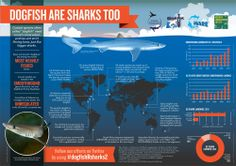 Coastal species, often called dogfish, need conservation policies and strict finning bans, just like bigger sharks. Download the poster at www.sharktrust.org/posters.