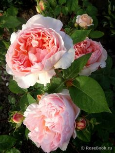 Evelyn ® White Flowers, Pink Roses, Beautiful Flowers, Sunset Colors, Peach Colors, Rose Rise, David Austin Roses, Queen Annes Lace, Blue Hydrangea