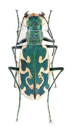 Eugrapha inscripta - LOVE THE AWESOME PATTERN IN GORGEOUS GREEN, ON HIS BACK! - LOOKS LIKE IT HAS BEEN HAND PAINTED! ⭕️