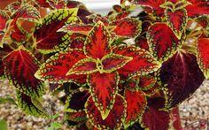 Variegated leaves Begonia Rex