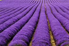 Lavendar Fields Provence - 10 Stunningly Colorful Natural Landscapes From Around the World