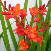 Crocosmia pottsii 'Princess'. Click image to learn more, add to your lists and get care advice reminders each month.    Other names: Montbretia 'Princess', Crocosmia x crocosmiiflora 'Princess', Crocosmia 'Princess'  'Princess' is a vigorous, clump-forming, cormous perennial with upright, lance-shaped, pleated, bright-green leaves and, from midsummer into autumn, arching, branched stems bearing racemes of funnel-shaped, red flowers with yellow centres that contain purple-red dots.