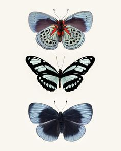 Three Blue Butterflies Photo - fine art print by Allison Trentelman   rockytopstudio.com