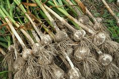 Garlic - how to plant, grow, and harvest