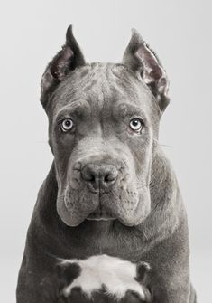 Cane Corso. Looks somewhat like an American pitbull.