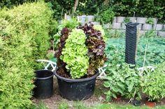 Die Pflanzen gedeihen super und wir gießen sie vorwiegend durch das Bewässerungsrohr. Und wir ernten täglich.