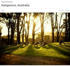 Kangaroos, Australia Photograph by Adhi Anggadjaja, National Geographic Your Shot During closing time at the Phillip Island Wildlife Park in July the roos were together resting and grazing as the winter sun was setting. National Geographic Photography, National Geographic Photos, Deer Photos, Cool Photos, Wildlife Park, Animals Of The World, Marine Life, Nature Pictures, Amazing Nature