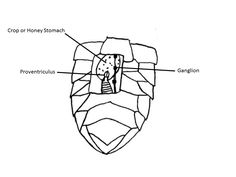Ventral view of abdomen showing window dissection (adapted from Bailey 1951)