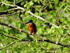 Rocombe Valley Retreat, Devon. You may spot the kingfisher while fishing in our well stocked fishing ponds, which you can fish in while staying here http://www.organicholidays.com/at/3065.htm