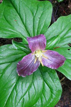 Oregon Trillium