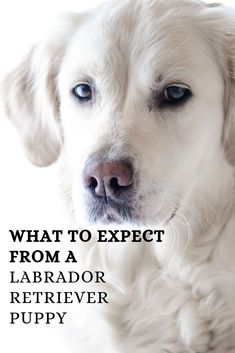 Labrador Retriever puppies are the best! We have our Silver Lab pup and yellow Labrador pup right now! Best Family Dog Breeds, Most Popular Dog Breeds, Best Dog Breeds, Family Dogs, Perro Labrador Retriever, Retriever Puppy, Puppy Care, Dog Care, Dog Comics