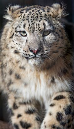Snow Leopard by Tambako The Jaguar