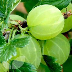 Gooseberry Hinnomaki green Green Fruit, Colorful Fruit, Exotic Fruit, Tropical Fruits, Gooseberry Pie, All Berries, Tree Pruning, Beautiful Fruits, Tree Seeds
