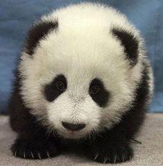 Playin' cutesy  #babypanda