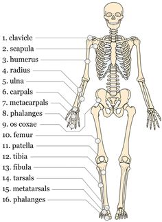 how to make a skeletal structure in word
